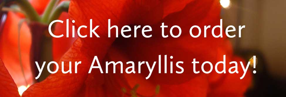 Amaryllis-Order-Button