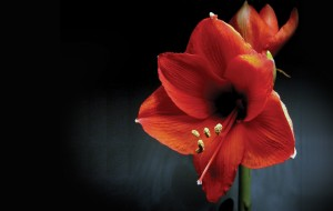 Amaryllis Campaign Sells Out!