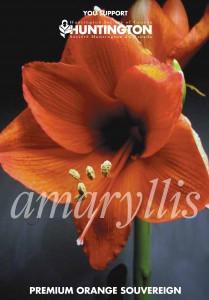 amaryllisfront