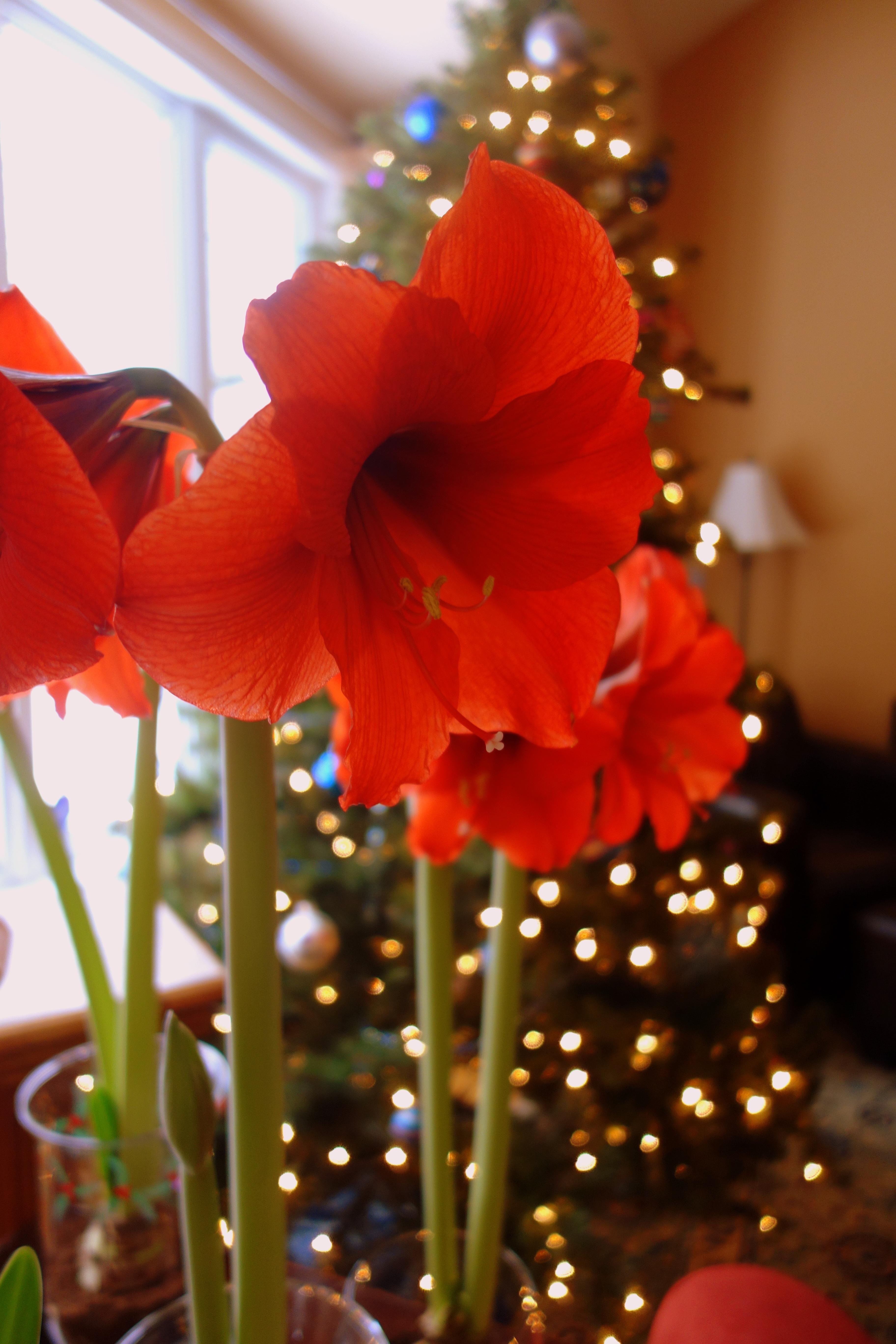Tips & Tricks to Grow Your Amaryllis Plant