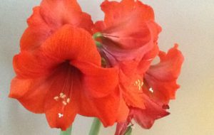 And the winner is……2017 Amaryllis Early Bird Contest