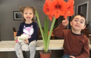 The Amaryllis Campaign Continues to Bloom...